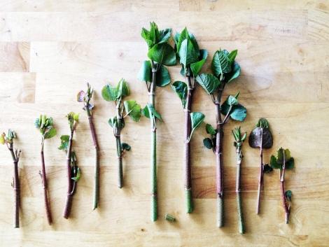 knotweed line up